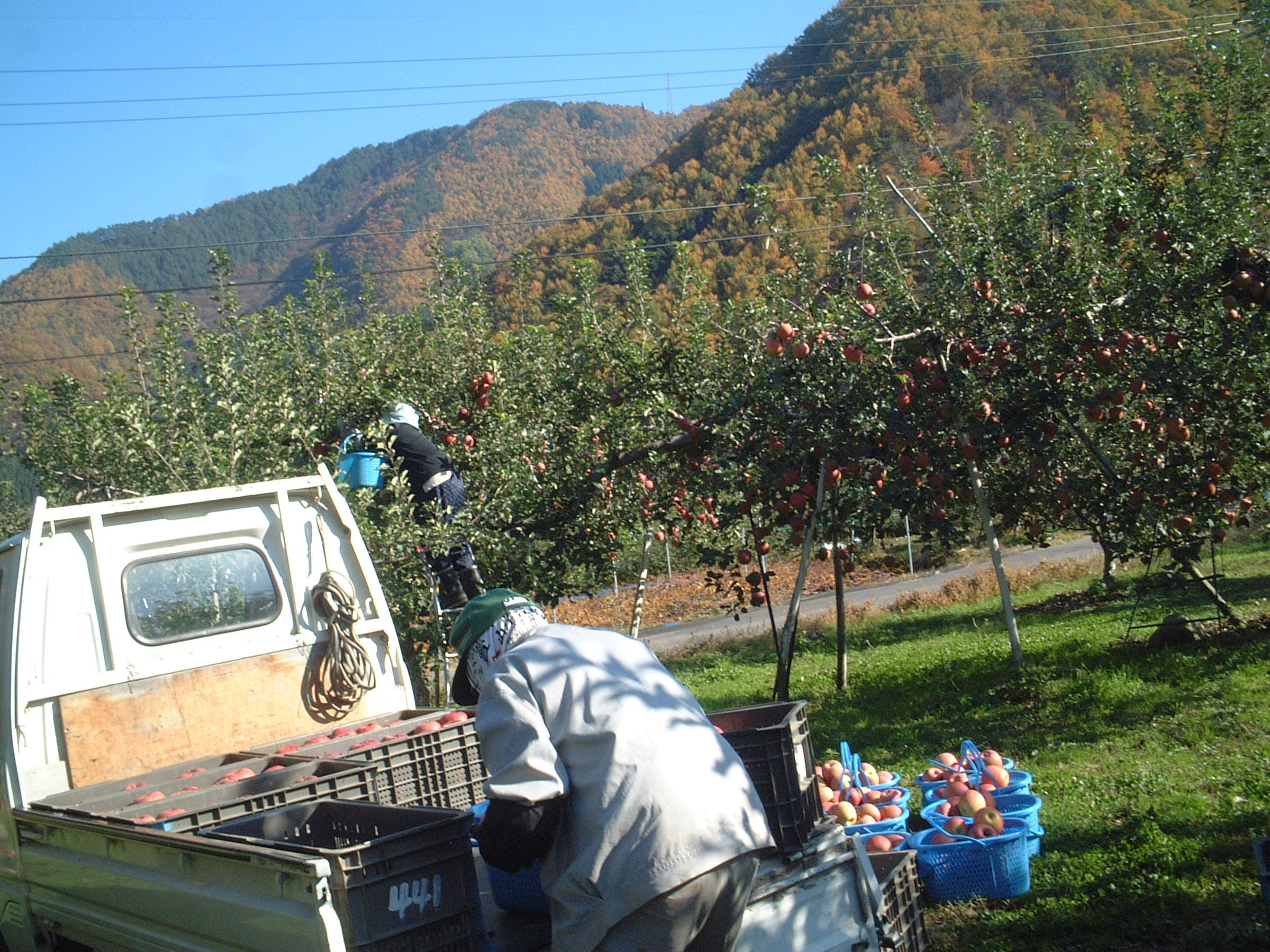 無袋(ムタイ)りんご収穫
