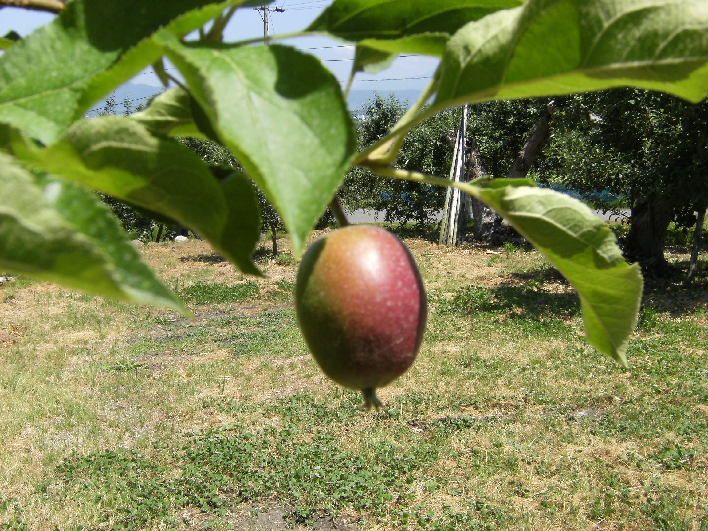 りんご 王林 6月
