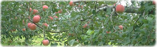 信州りんご園風景
