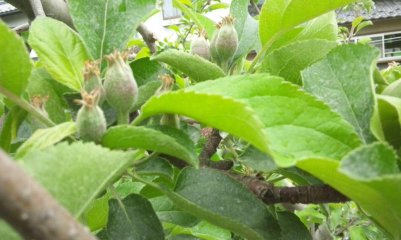 りんごの摘果 前