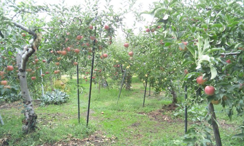 りんご 秋映 シナノゴールド