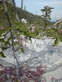 りんごの花 開花3