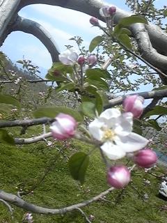 りんごの花 開花2