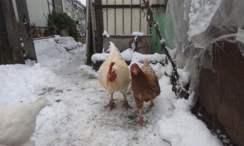 大雪 にわとり 夫婦