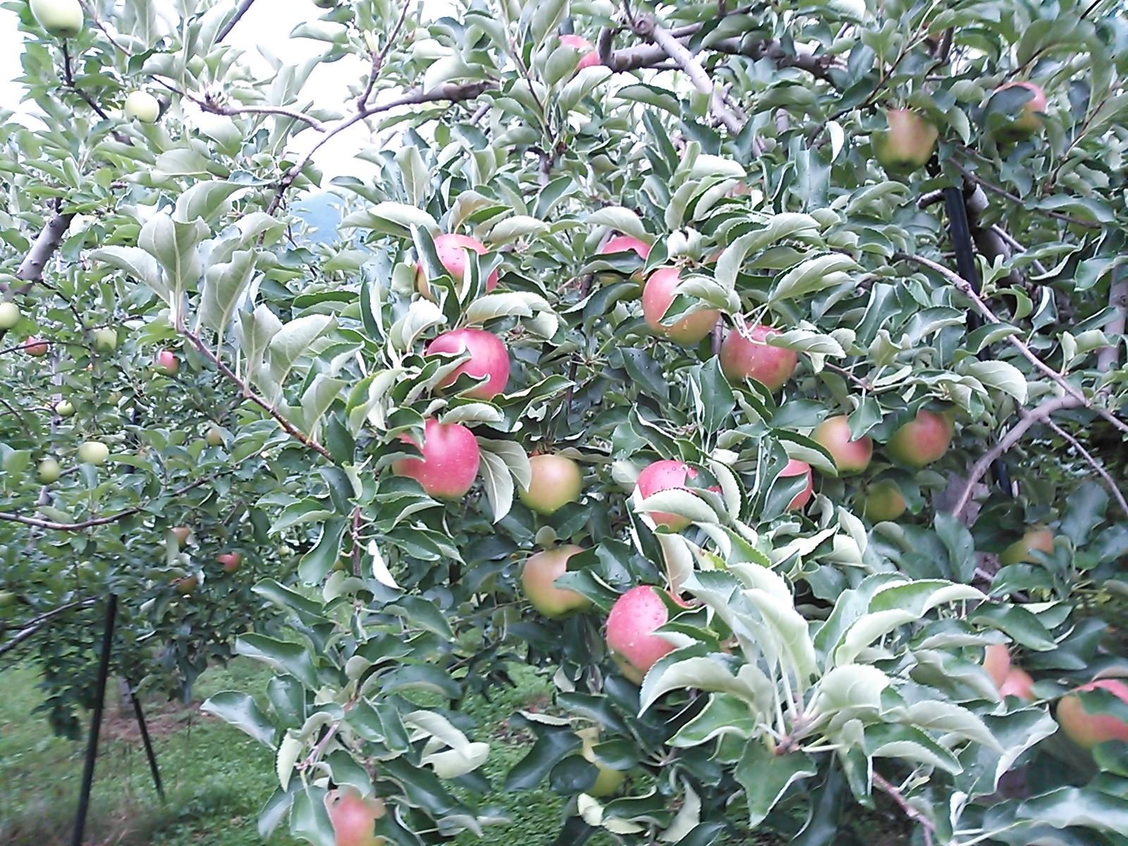 りんご 秋映 収穫1か月前