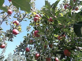 りんごのシャワー