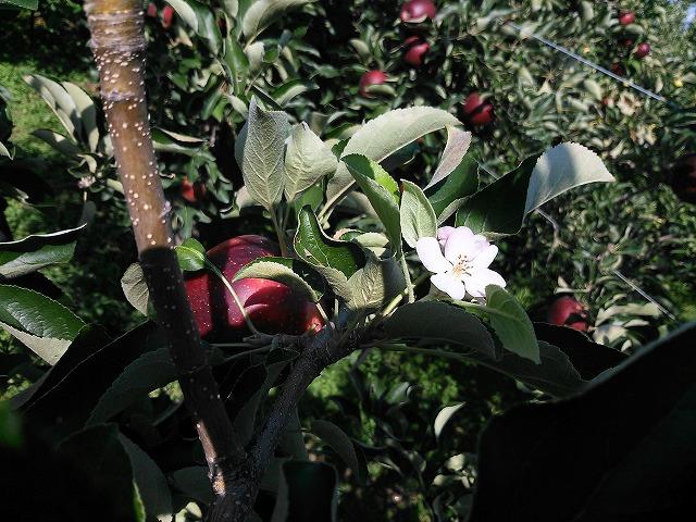 りんごと花のコラボ