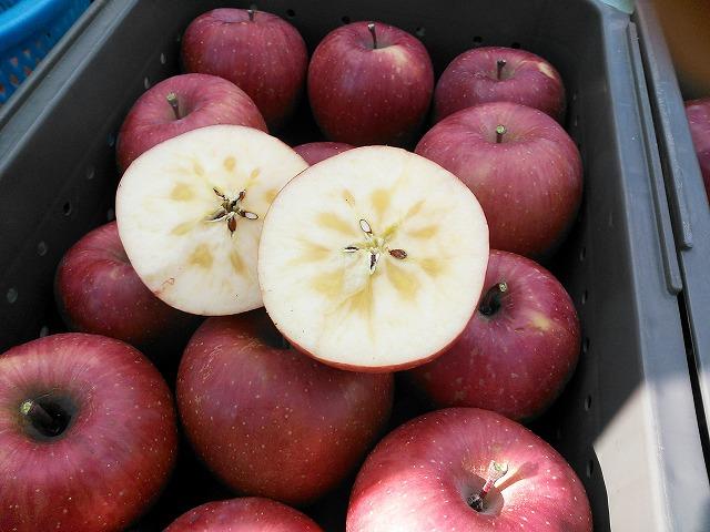 りんご 蜜入りサンふじ 収穫開始