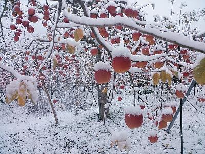 りんご 蜜入りサンふじ 雪かむり