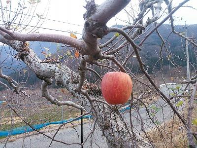 りんご 収穫終了 さいごの一個